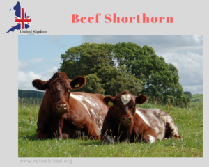 Beef Shorthorn