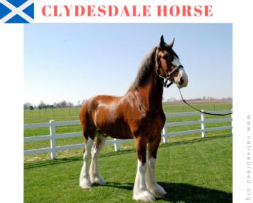 Scotland clydesdale horse