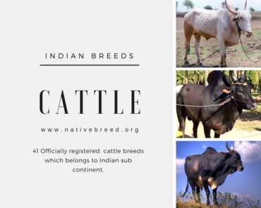officially registered indian cattle breeds