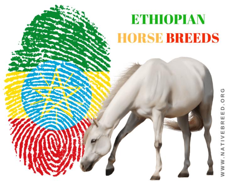 ETHIOPIAN HORSE BREEDS