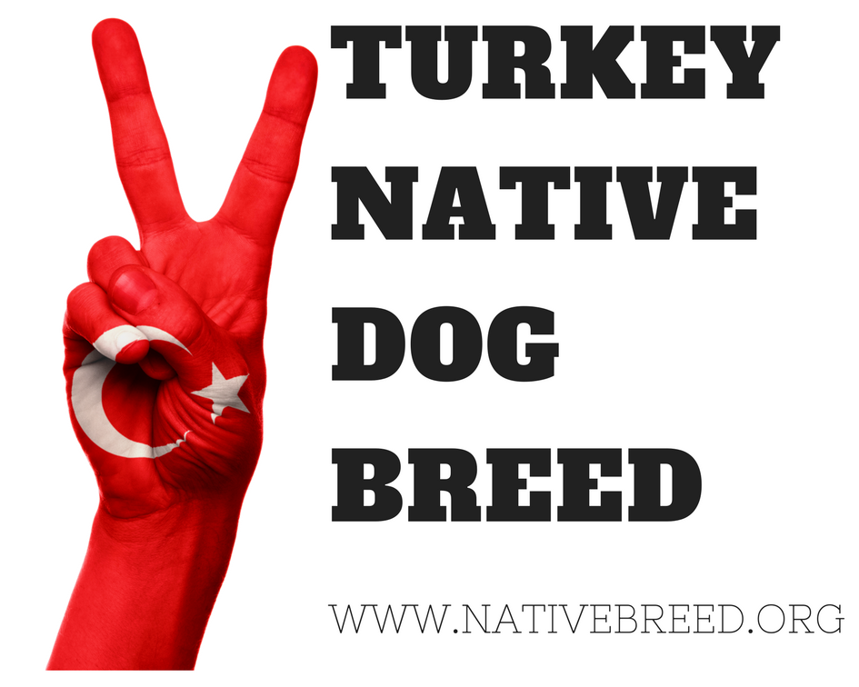 turkey native dog breeds