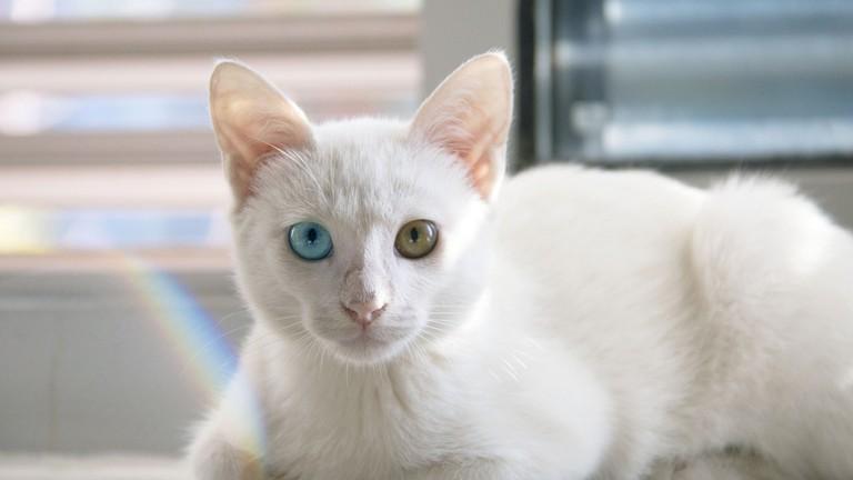 Cat Breeds Originating In Thailand Native Breed Org