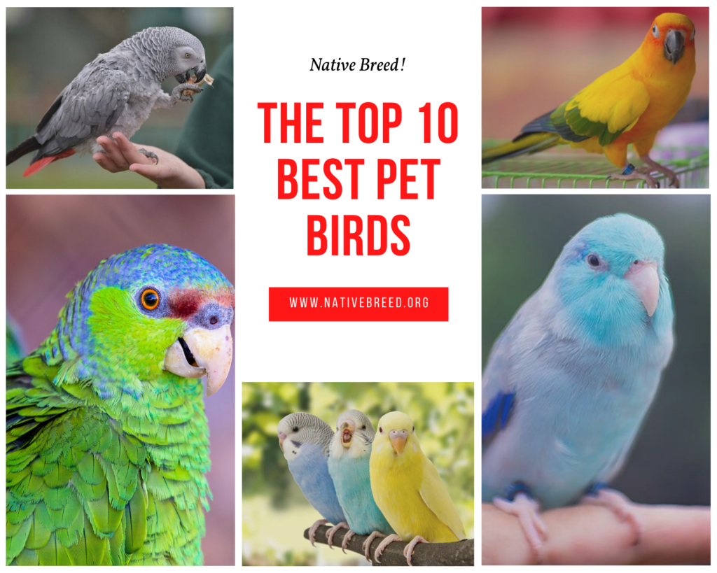 The Top 10 Best Pet Birds Native Breed Org